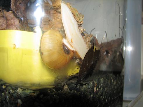 枯れ葉に潜るカタツムリ
