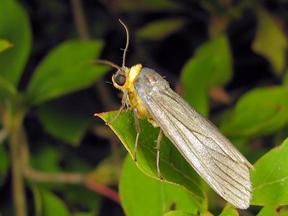 黄色いマフラーのクビワウスグロホソバ
