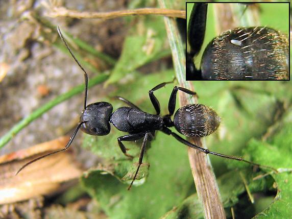 クロオオアリの腹部に寄生卵か?