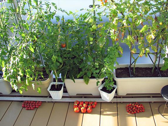 3種のトマトを一気に収穫