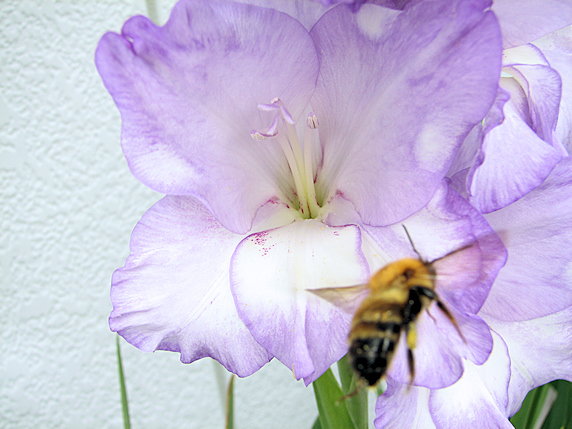 クマバチを呼ぶグラジオラス