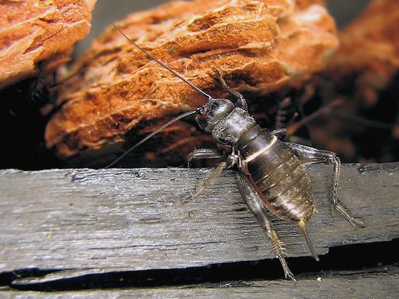 エンマコオロギ体長1cm