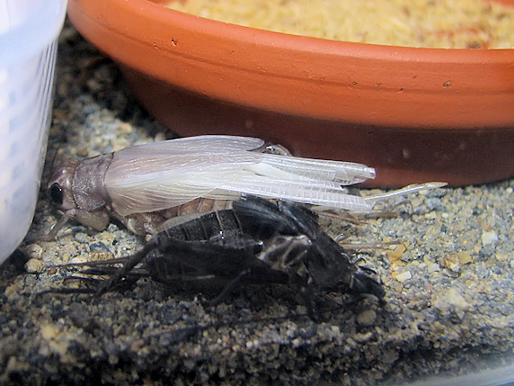 エンマコオロギが羽化