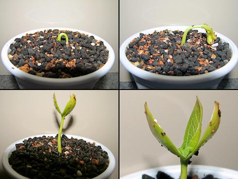 富有柿の発芽