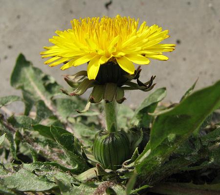 写真館-今年一番のタンポポ開花