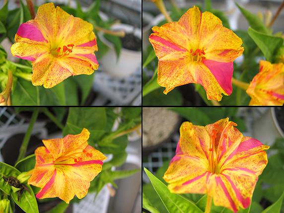 オシロイバナの花の色の違い
