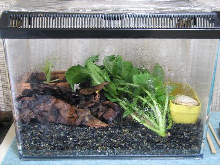 葉大根を食い尽くすカタツムリ