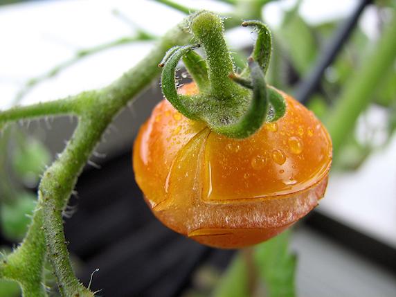 ミニトマトの実割れ大発生