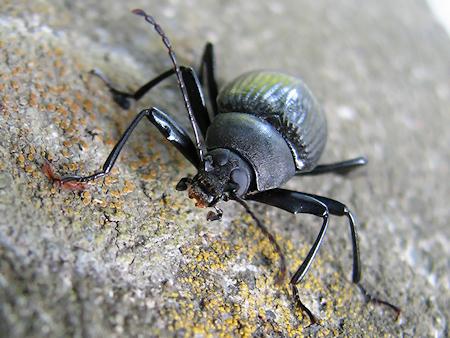 ブラックなキマワリという昆虫
