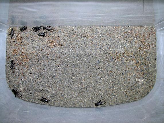 エンマコオロギの飼育個体数決定