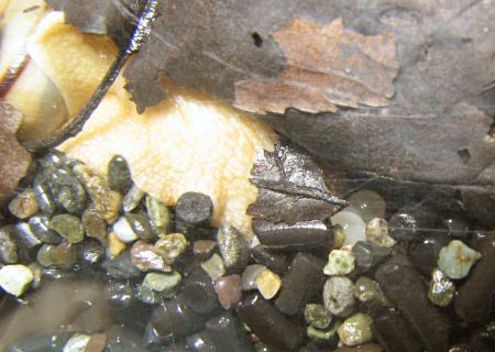 カタツムリの産卵をついに激写!