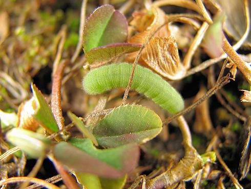 モンキチョウの幼虫2匹