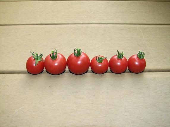 ミニトマト収穫最終回