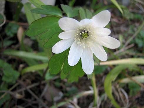 アズマイチゲも開花