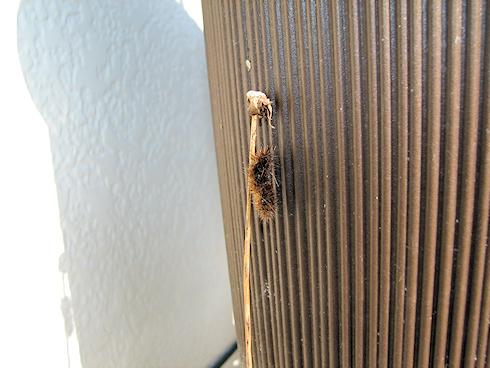 シロヒトリの幼虫、無事