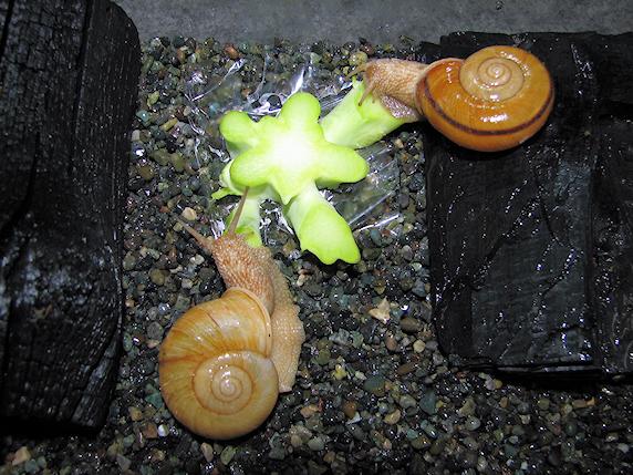ブロッコリーを食べるカタツムリ