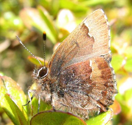 写真館-春の蝶、コツバメ