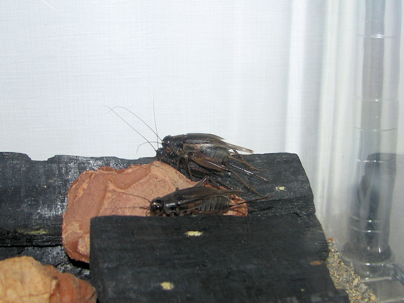 エンマコオロギの交尾確認