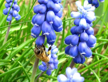 写真館-ムスカリとミツバチ