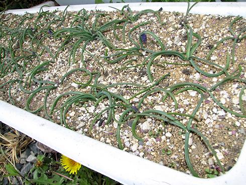 植えたムスカリに花穂登場