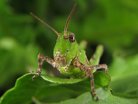 凛々しいバッタの幼虫
