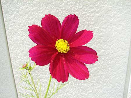 ワイン色のコスモス開花