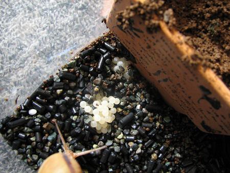 カタツムリの産卵確認