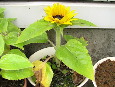 ミニヒマワリ開花