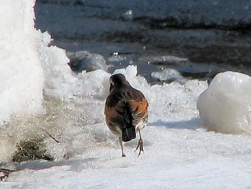 冬を生きるツグミ