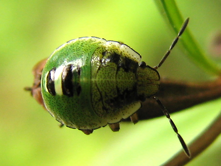カメムシの真ん丸い幼虫