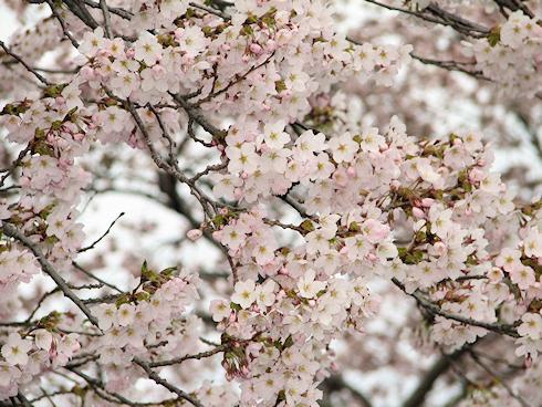桜が満開なり