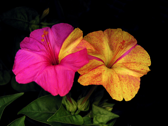 オシロイバナの花の色の変異