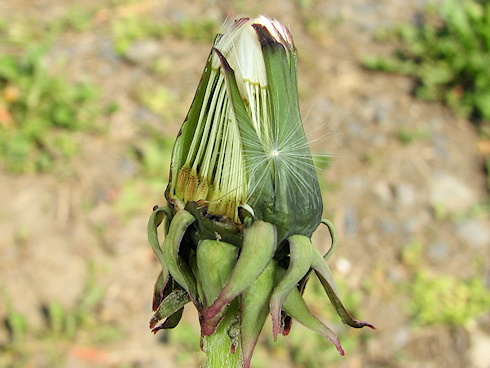 野鳥に食べられるタンポポの種