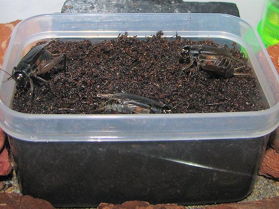 行列のできる産卵床