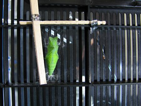 アゲハの飼育ケースを羽化モードに改造