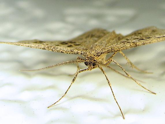 ホシスジトガリナミシャクという蛾
