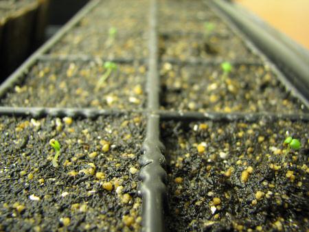 イチゴの発芽後の成長