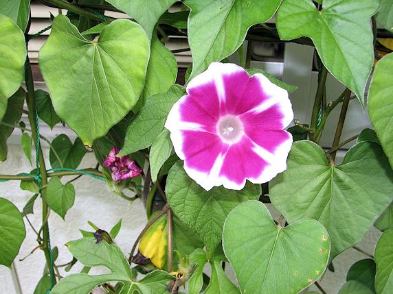メリーゴーランドとかマルバアサガオとか開花中