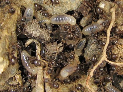 アミメアリの幼虫