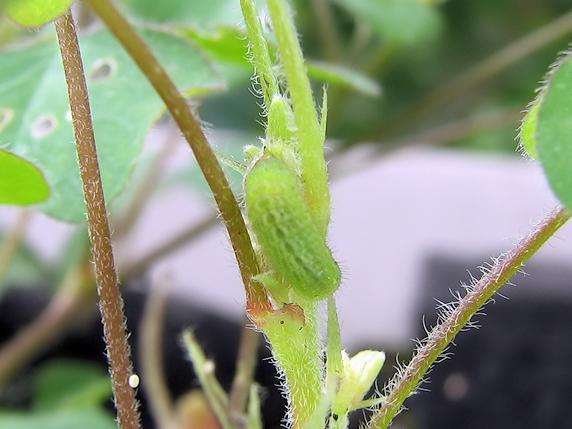ヤマトシジミの幼虫