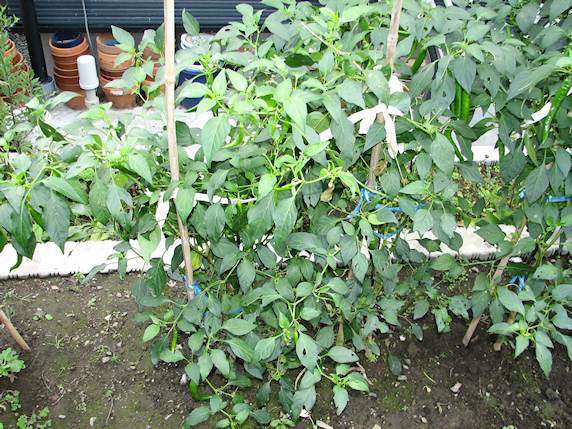 トウガラシの収穫