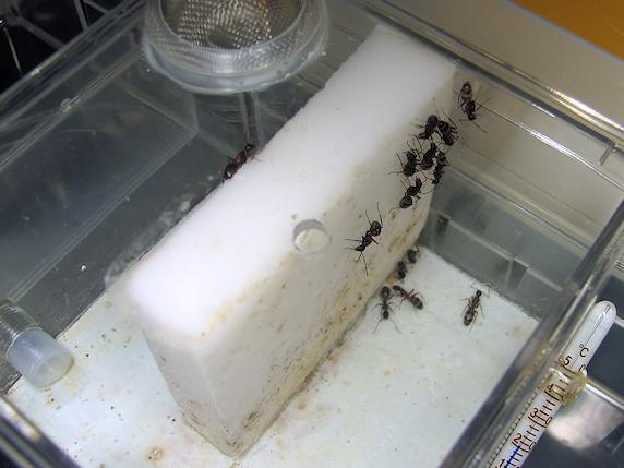 ムネアカオオアリの幼虫