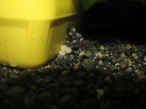 カタツムリが産卵
