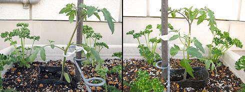 ミニトマト栽培スタート