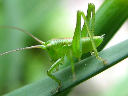 写真館-ヤブキリの幼虫