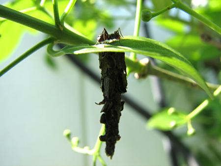 写真館-アリとミノムシ