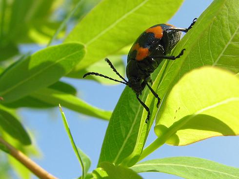 黒とオレンジのイタドリハムシ