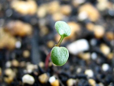 色濃く成長、イチゴの芽