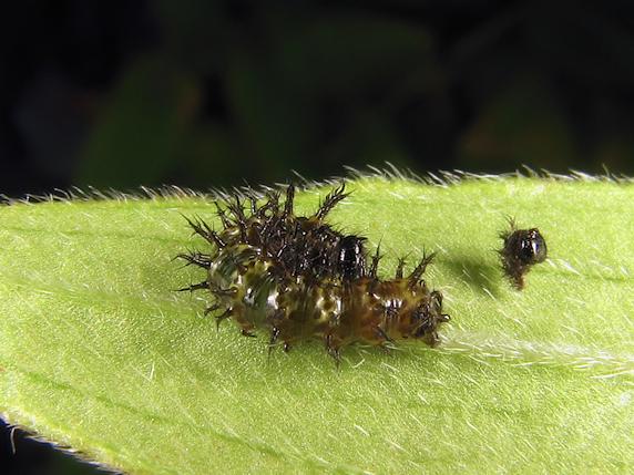 2年ぶりにルリタテハの幼虫発見