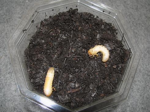 土の中の幼虫発見